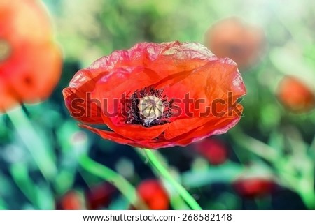 Red poppy close up - stock photo