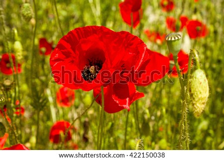 Red poppy close-up on a background of poppy field and green leaves