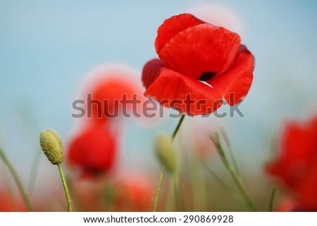 red poppy field. Blooming field of poppies. Poppy - stock photo