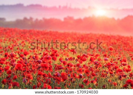 red poppy field in morning mist - stock photo