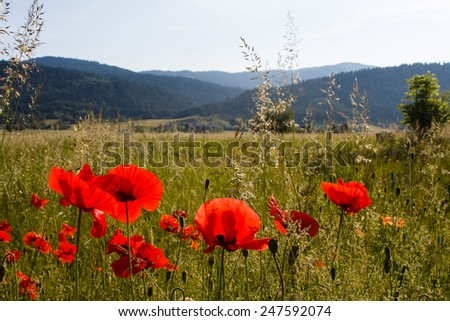 red poppy fields and other green grass in mountains in countryside in Croatia - stock photo