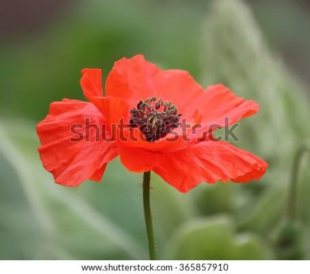 Red poppy flower. - stock photo