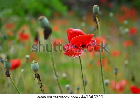 Red Poppy flower - stock photo
