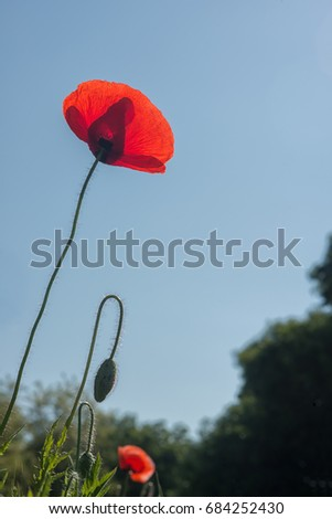 Red poppy flower at the summer time on the blue background outdoor