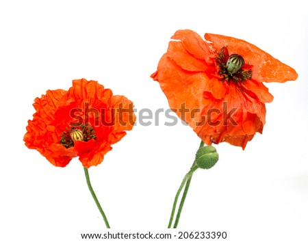 red poppy flower field - stock photo