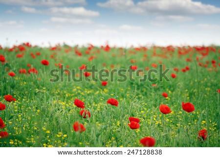 red poppy flower field spring season - stock photo