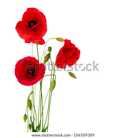 red poppy flower isolated on white stock photo, Beautiful flower