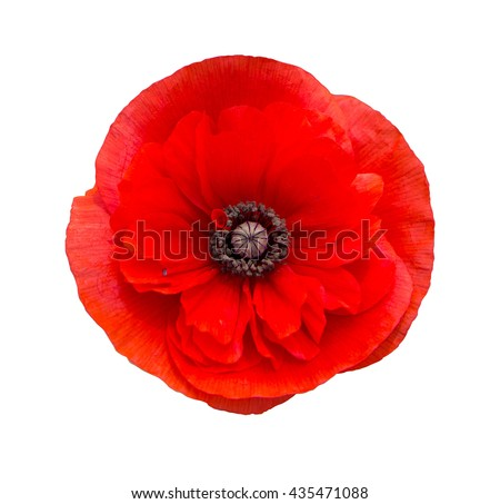 red poppy flower isolated on white background - stock photo