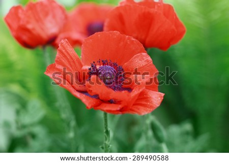Red poppy flower or Papaver on the meadow, symbol of Remembrance Day or Poppy Day, shallow dof - stock photo