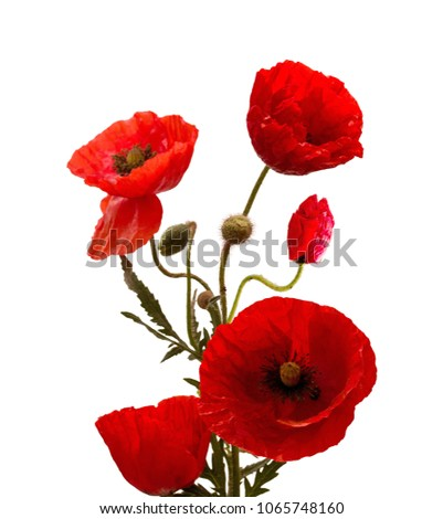 Red poppy flower remembrance anzac day stock photo 100 legal red poppy flower remembrance anzac day isolated on white background mightylinksfo