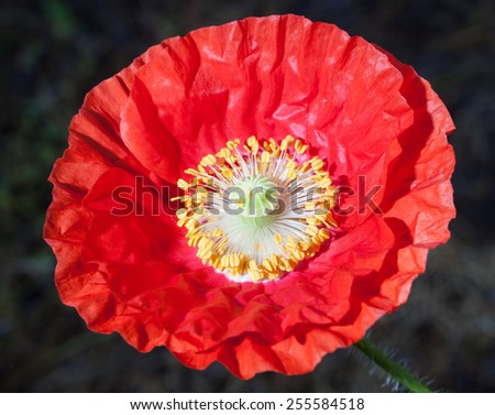 Red poppy flower that has just opened up - stock photo