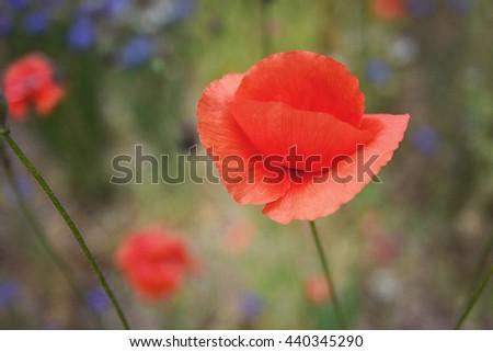 Red Poppy flower , Vintage filter - stock photo