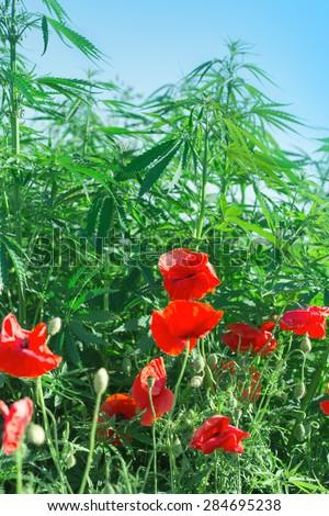 Red poppy flowers and cannabis - marijuana - stock photo