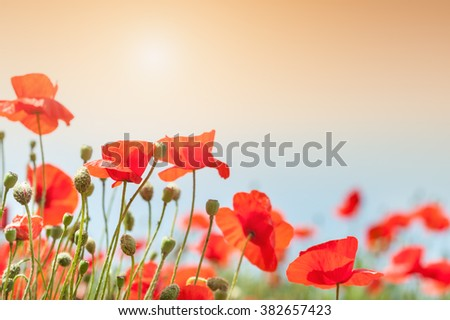 Red poppy flowers at morning sunlight. Selective focus