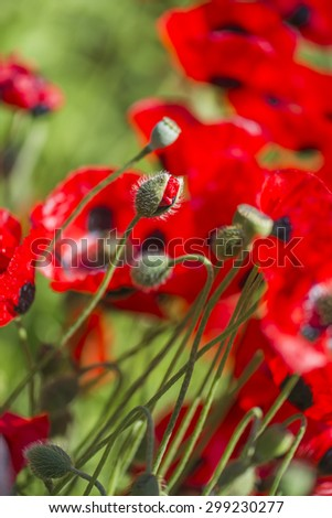 Red poppy flowers - closeup with selective focus