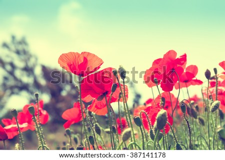 Red poppy flowers in a field. Selective focus. Vintage filter, retro effect - stock photo