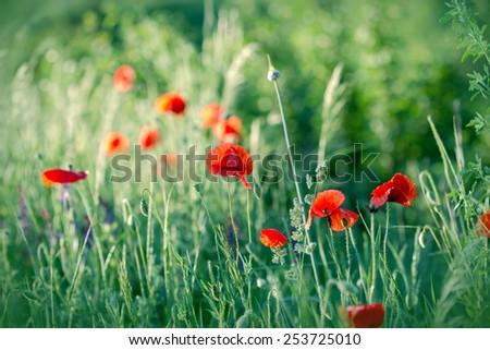 Red poppy flowers in green grass (in meadow) - stock photo