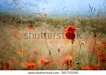 Red poppy Flowers in June in Rhineland-Palatinate, Germany - stock photo