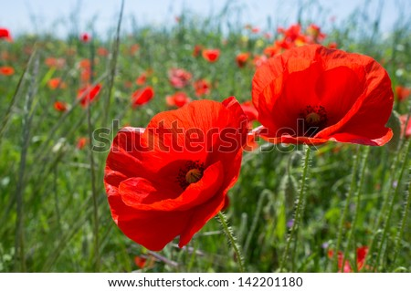 Red poppy flowers in the oil seed rape fields - stock photo