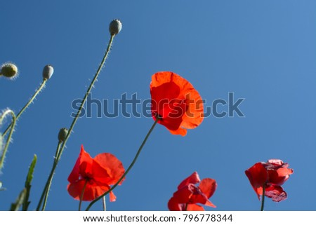 Red poppy flowers on the field Sicily summertime