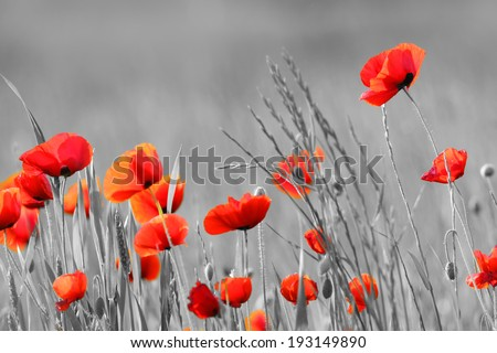Red Poppy flowers with black and white background - stock photo
