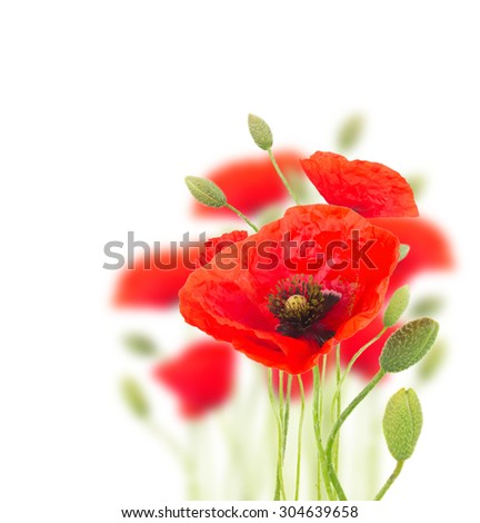 Red poppy flowers with buds  on white background - stock photo