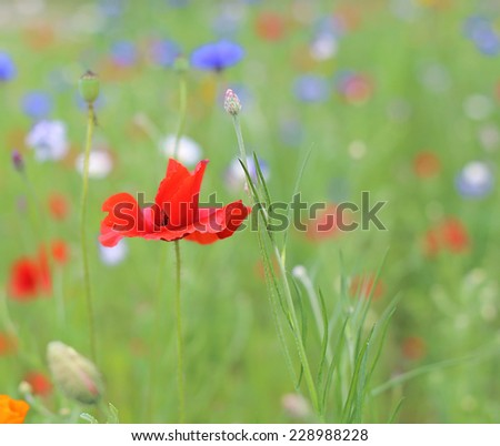 red poppy in wild flower meadow - stock photo