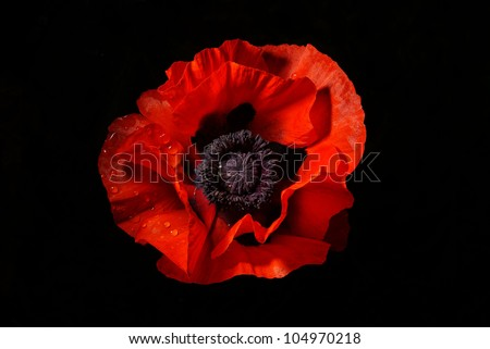 red poppy isolated on a black background - stock photo