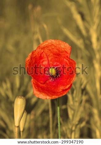 Red Poppy on a serene background. - stock photo