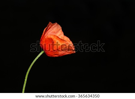Red poppy on black color with dew drops - stock photo