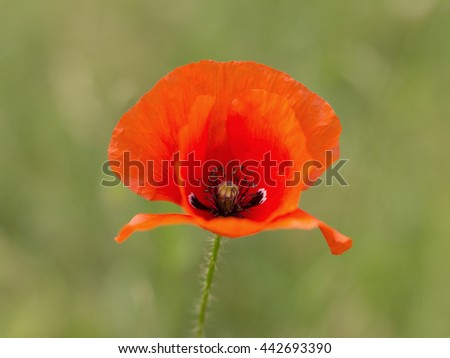 red poppy on the meadow - stock photo