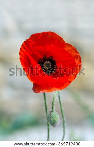 Red poppy, Papaver, blooming in red - stock photo