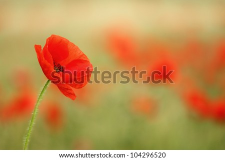 Red poppy (Papaver rhoeas) with out of focus poppy field in background. The petals from off ancient past use in the treatment lung diseases, and as tranquilizer. - stock photo