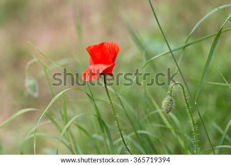Red poppy, Papaver, with buds and green staff in the wind - stock photo