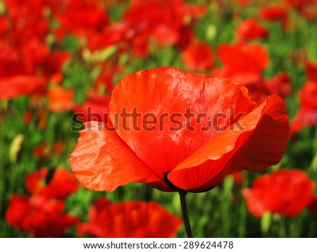 Red poppy petals close up. - stock photo