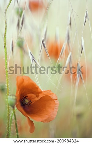 red poppy spring flower. Background with poppies in grass meadow. These beautiful field flowers are wildflowers and are the symbol of remembrance day. Papaver rhoeas.  - stock photo
