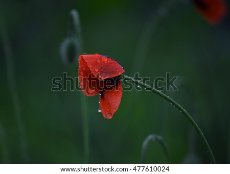 red poppy with drops in the rain