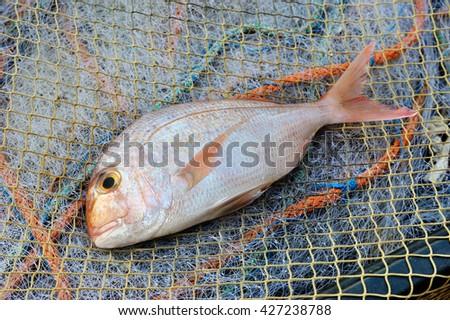 Red Porgy Sea Bream popular marine cultured fish on fishing nets - stock photo