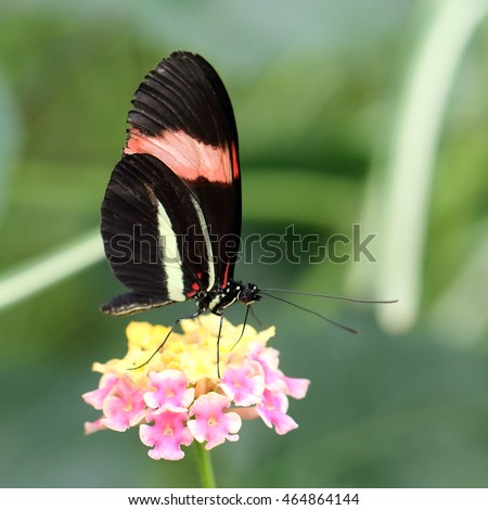 Red Postman butterfly at rest (Heliconius erato cyrbia, also known as the Crimson-patched longwing, the Small postman or the Red Passion Flower butterfly. The species is from South America