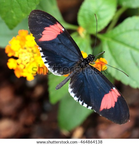 Red Postman butterfly feeding (Heliconius erato cyrbia). The species is from South America.