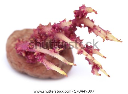 Red potato germinating over white background