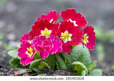 red primrose in a garden / red primrose - stock photo