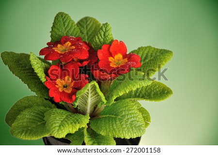 red primula with rain drops isolated on green background - stock photo