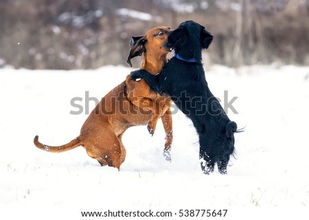 Red puppy Bavarian Mountain Hound playing with friend mongrel