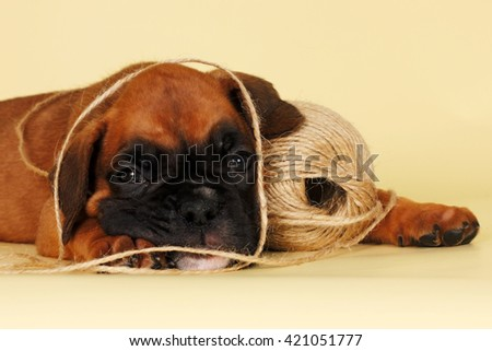red puppy breed boxer playing with a ball of rope and lies resting, closeup