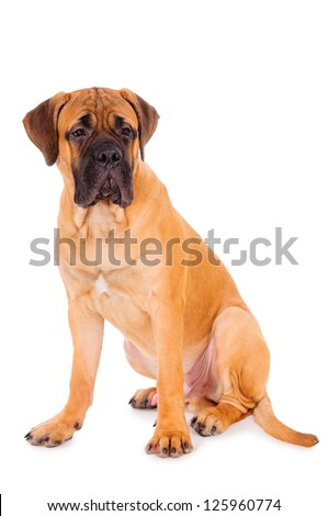 red puppy bullmastiff sitting on a white background, isolated