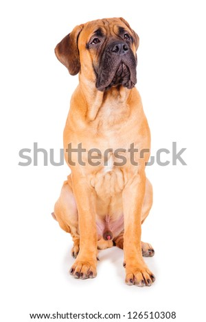 red puppy bullmastiff sitting on a white background, isolated. dog 7 months old - stock photo