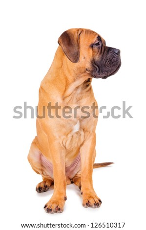 red puppy bullmastiff sitting on a white background, isolated. dog 7 months old