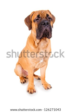 red puppy bullmastiff sitting on a white background, isolated. dog 7 months old. photo with perspective distortion