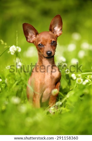 Red puppy in the grass - stock photo